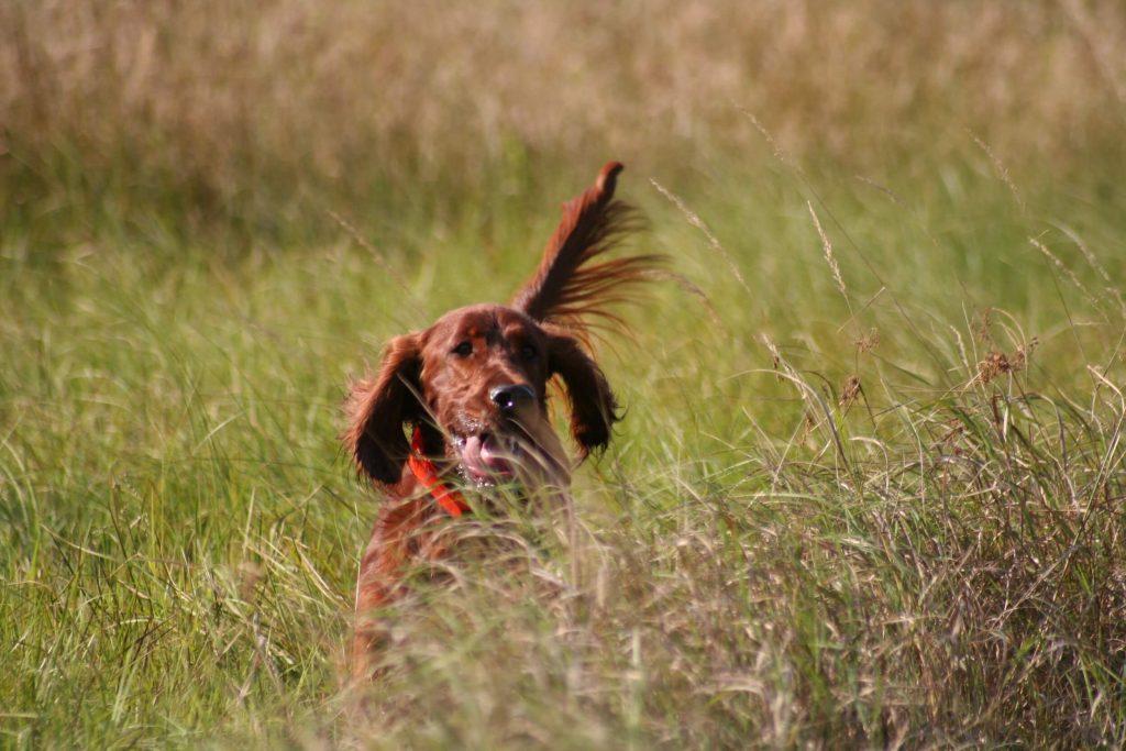 femelle-melho-vermelho